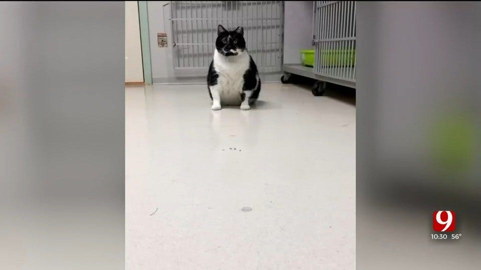 Oklahoma Humane Society's New Cat, Lunchbox, Weighs 23 Pounds