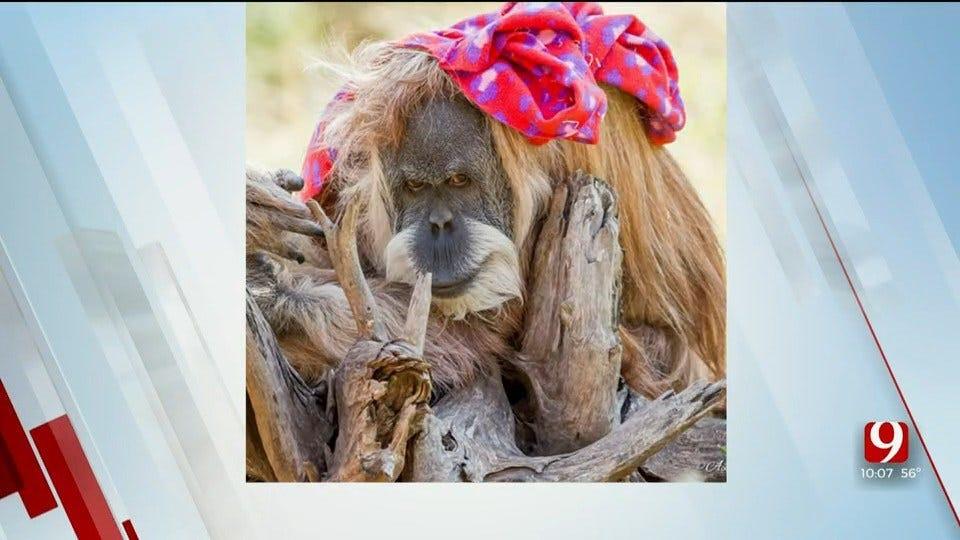 OKC Zoo's 53-Year-Old Orangutan Dies