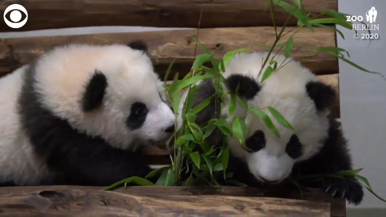 TOO CUTE! Panda Twins Playing