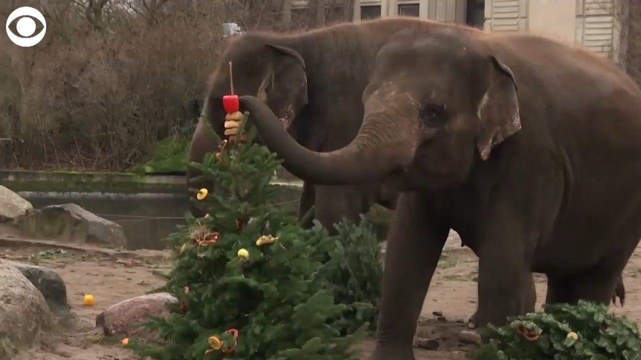 WATCH: Zoo Animals Enjoy Belated Christmas Treats