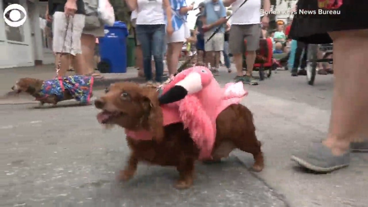 WATCH: Wiener Dog New Year's Eve Parade