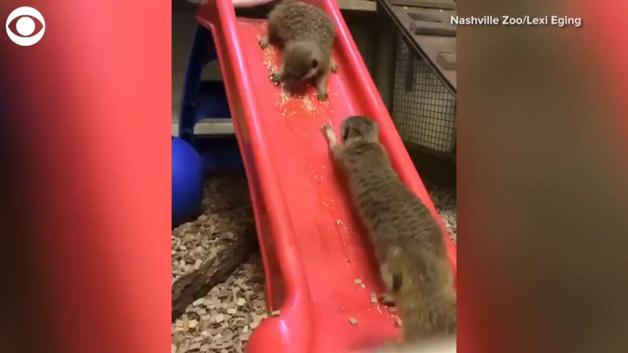 TOO CUTE! Meerkats Play On Slide