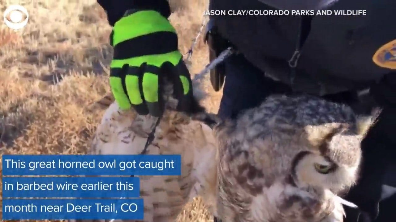 Great Horned Owl Get Saved From Barbed Wire