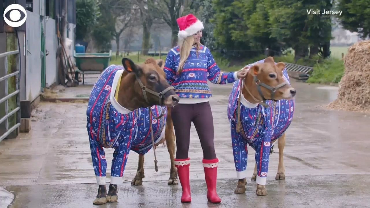 Dairy Christmas! Cows Get Festive With Matching Holiday Jumpers