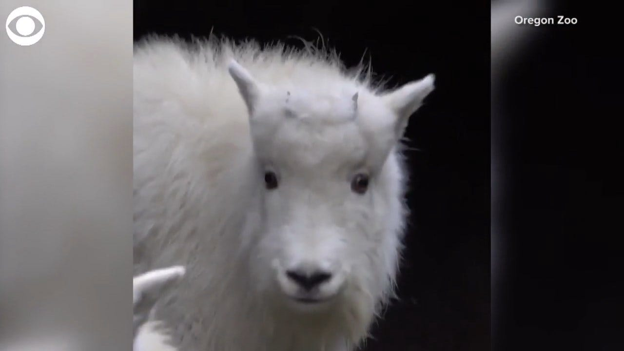 SO CUTE: Watch These Mountain Goats Play In Their New Home