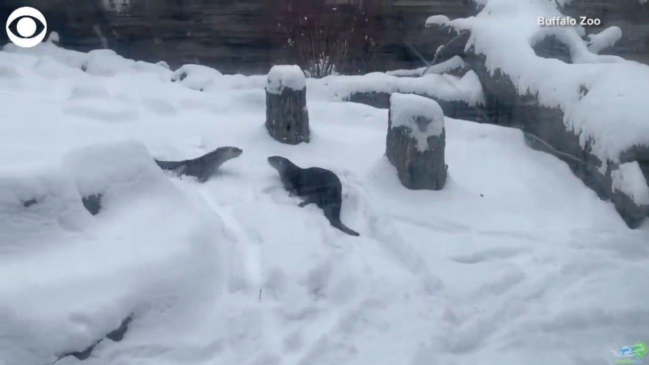 SO CUTE! Otters Frolic In Snow