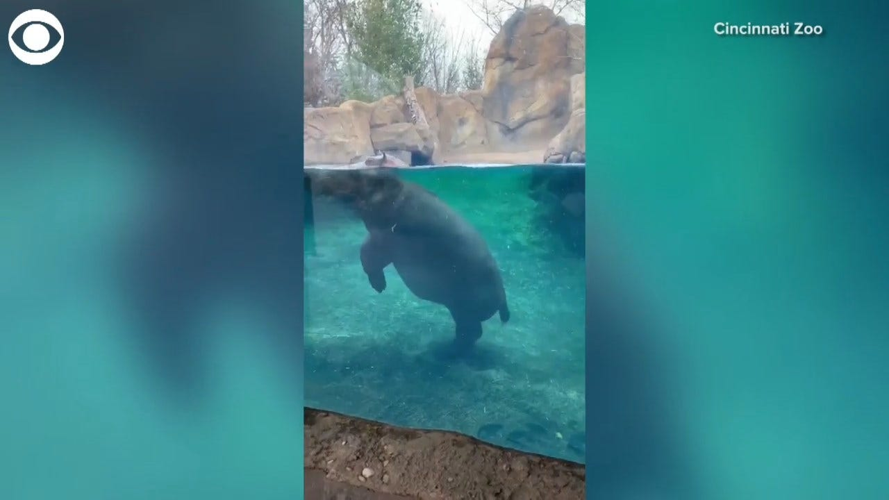 WATCH: Hippo Tiptoes In Her Tank