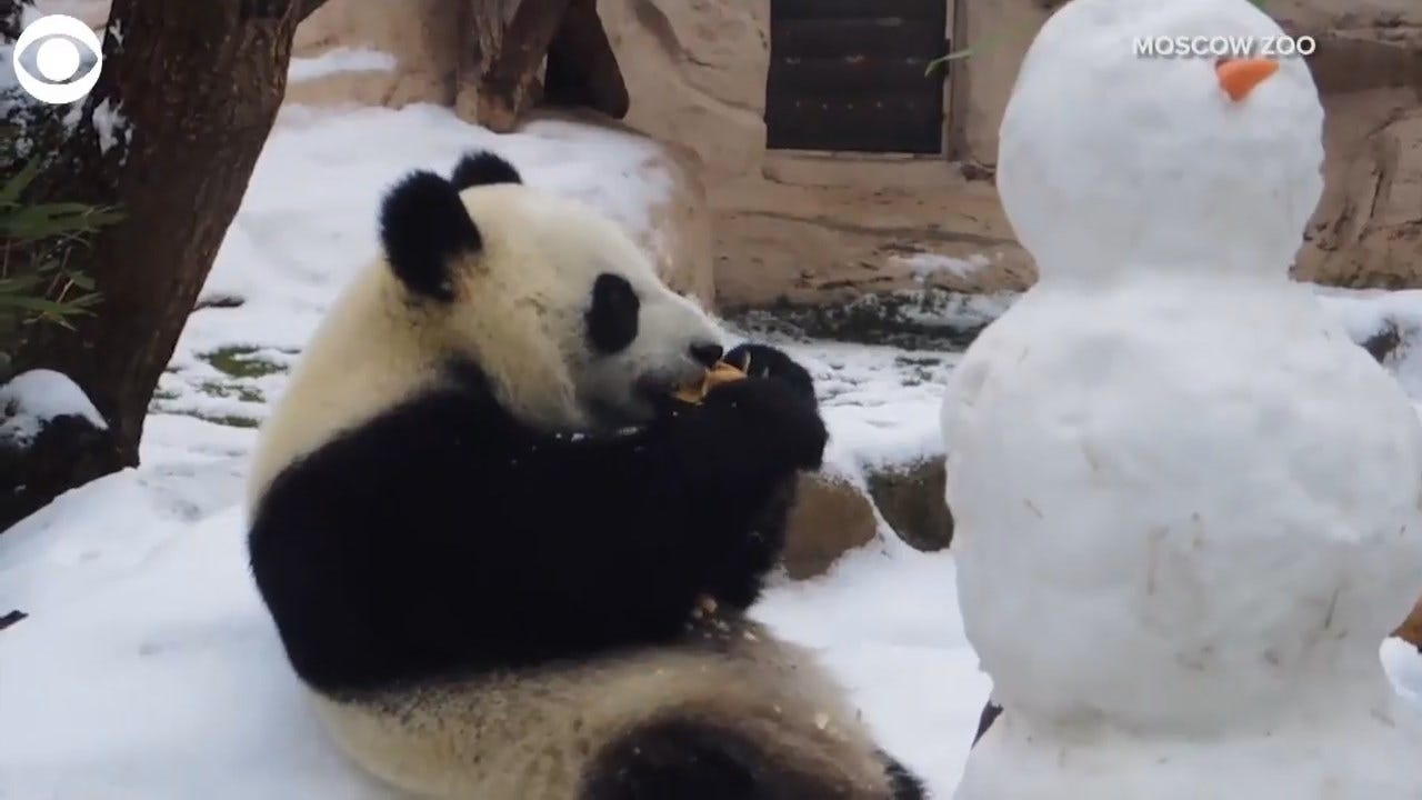 WATCH: Panda Plays With Her Cool New Friend