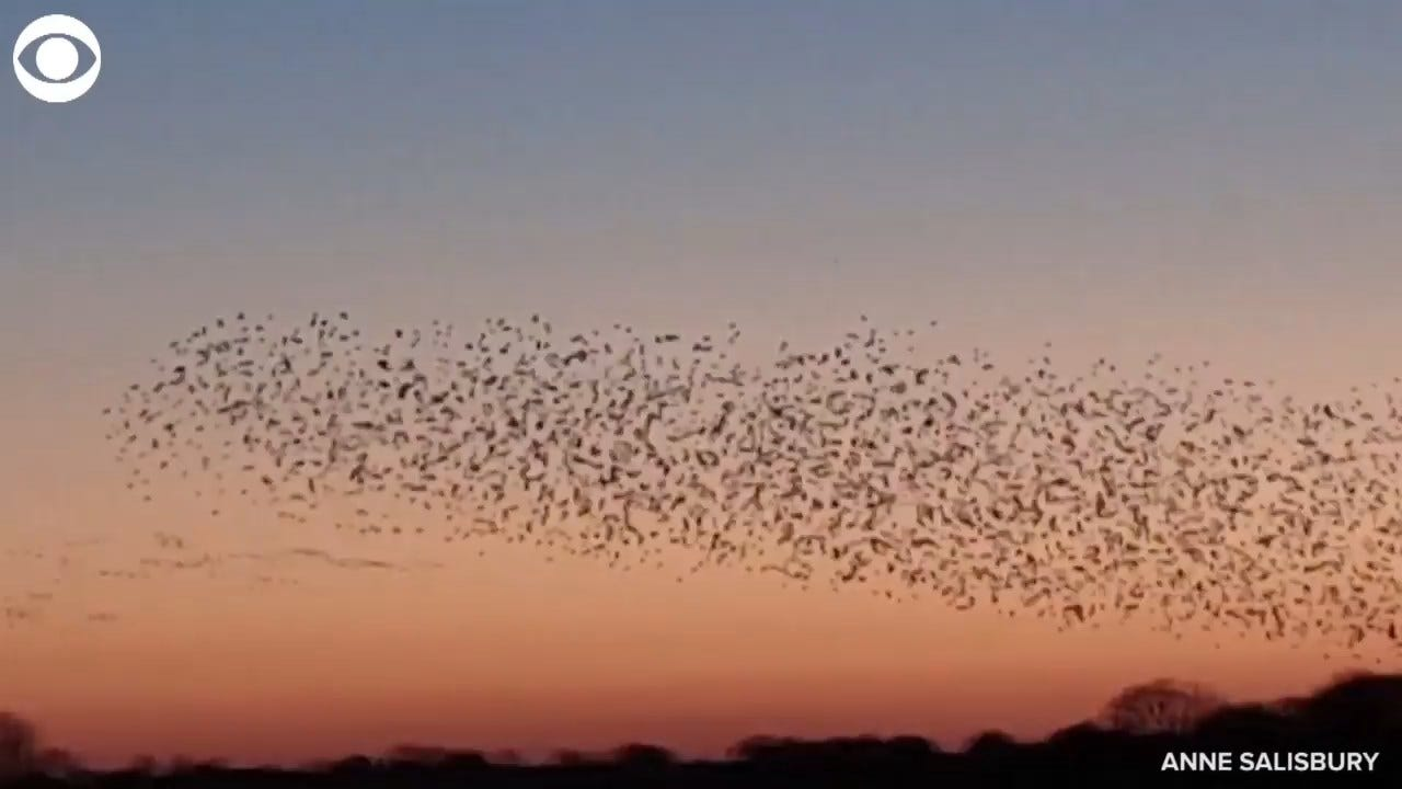 STUNNING! Starlings Fly At Sunset