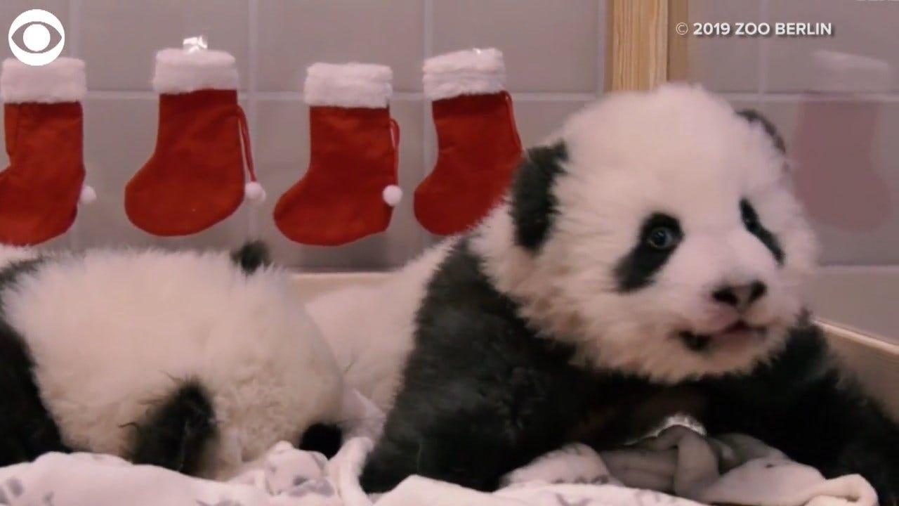 WATCH: Twin Pandas Celebrate 1st Christmas