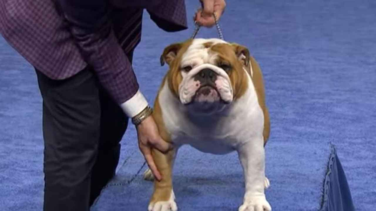 'Thor' The Bulldog Wins Best In Show At 2019 National Dog Show