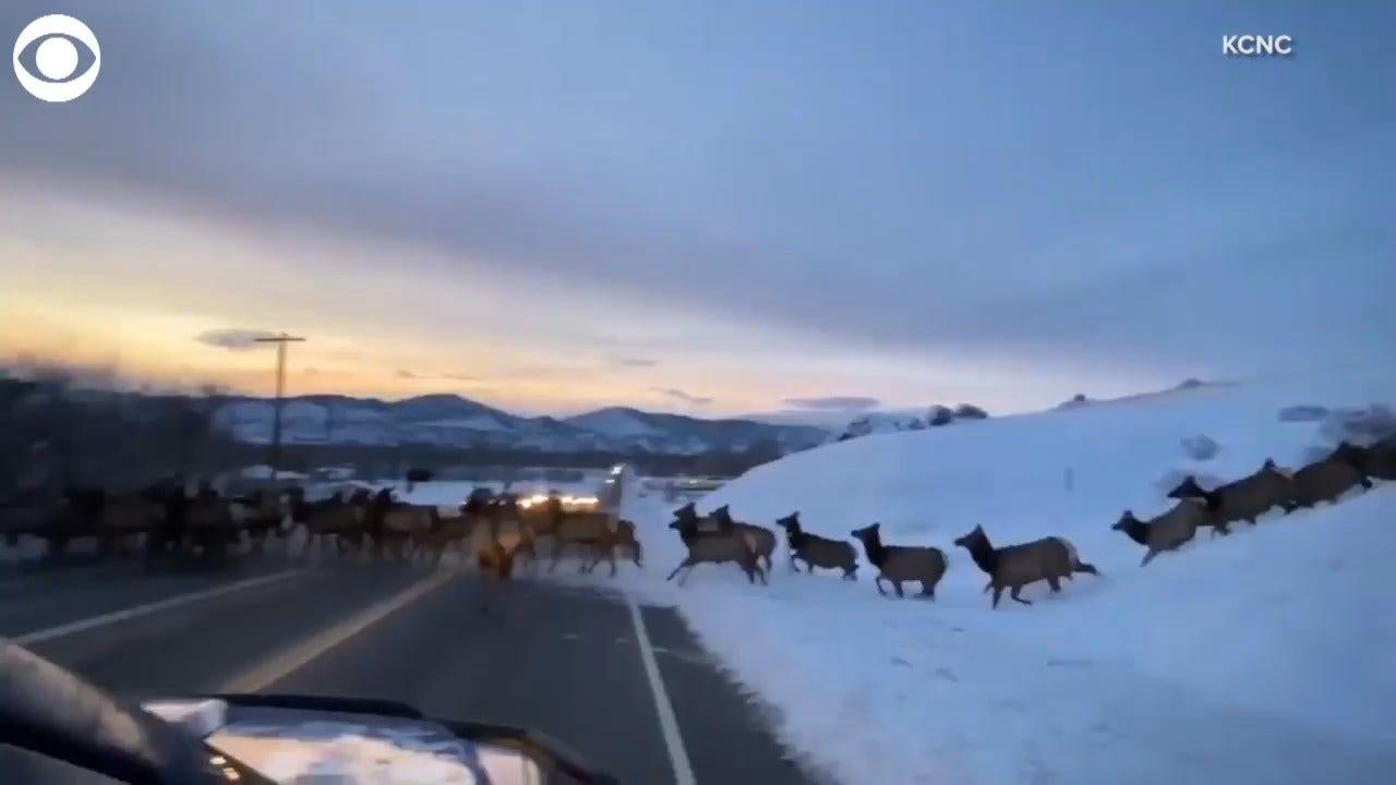 WATCH: A Herd Of Elk Cross A Road In Front Of News Crew In Colorado