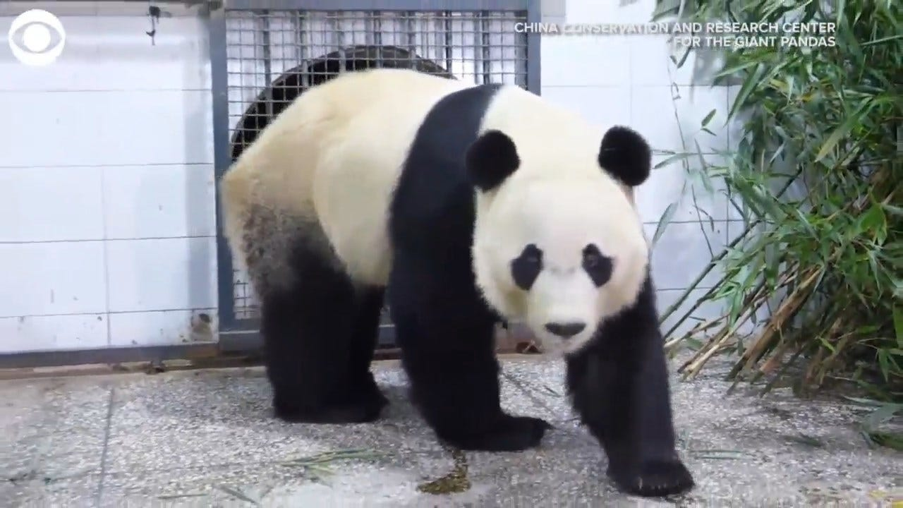 WATCH: Bei Bei, The Panda, Arrives In China From DC