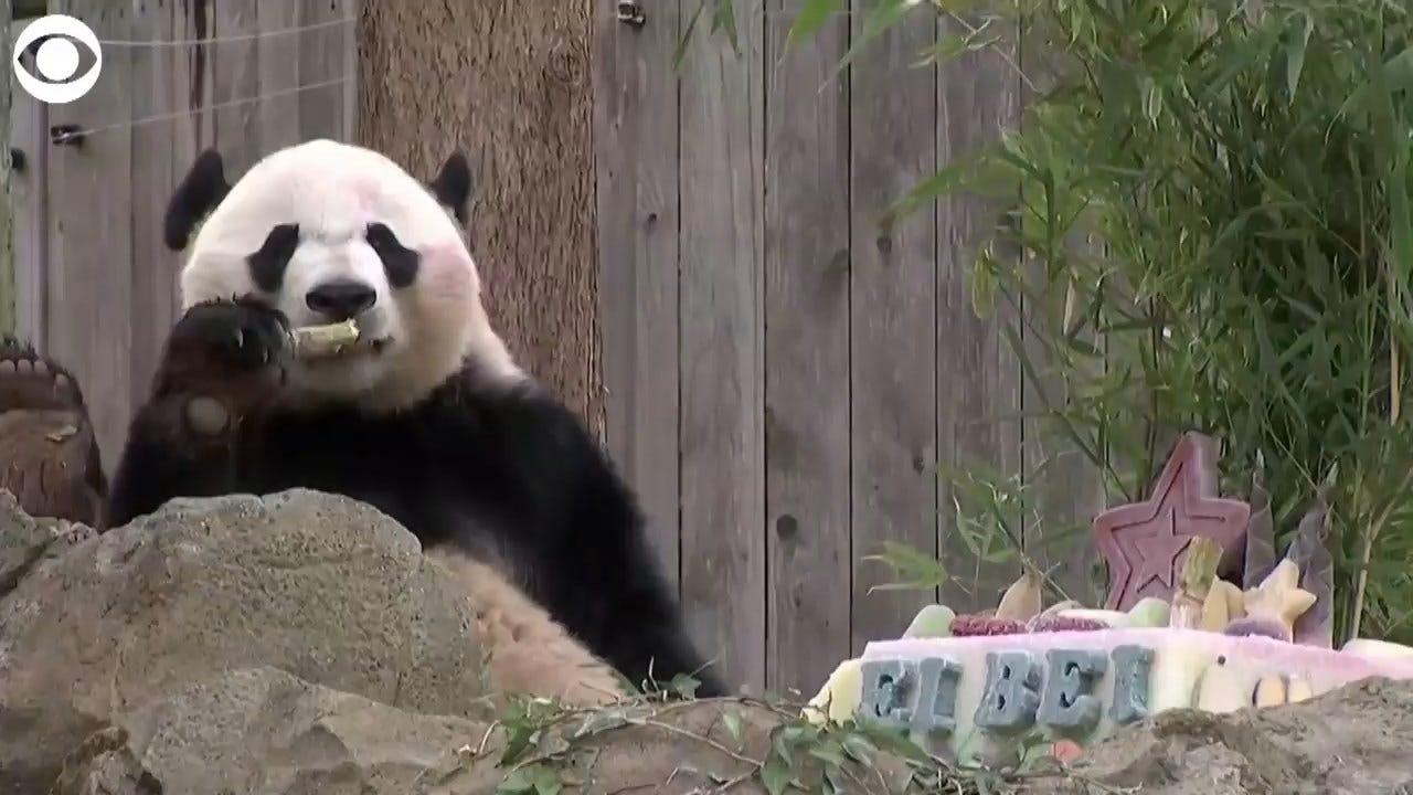 WATCH: Panda Enjoys Treats In DC Before Traveling To China