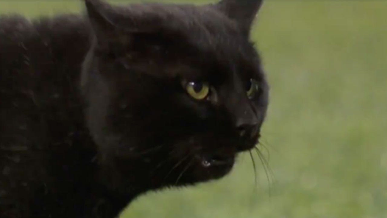 WATCH: Black Cat Takes The Field During Monday Night Football
