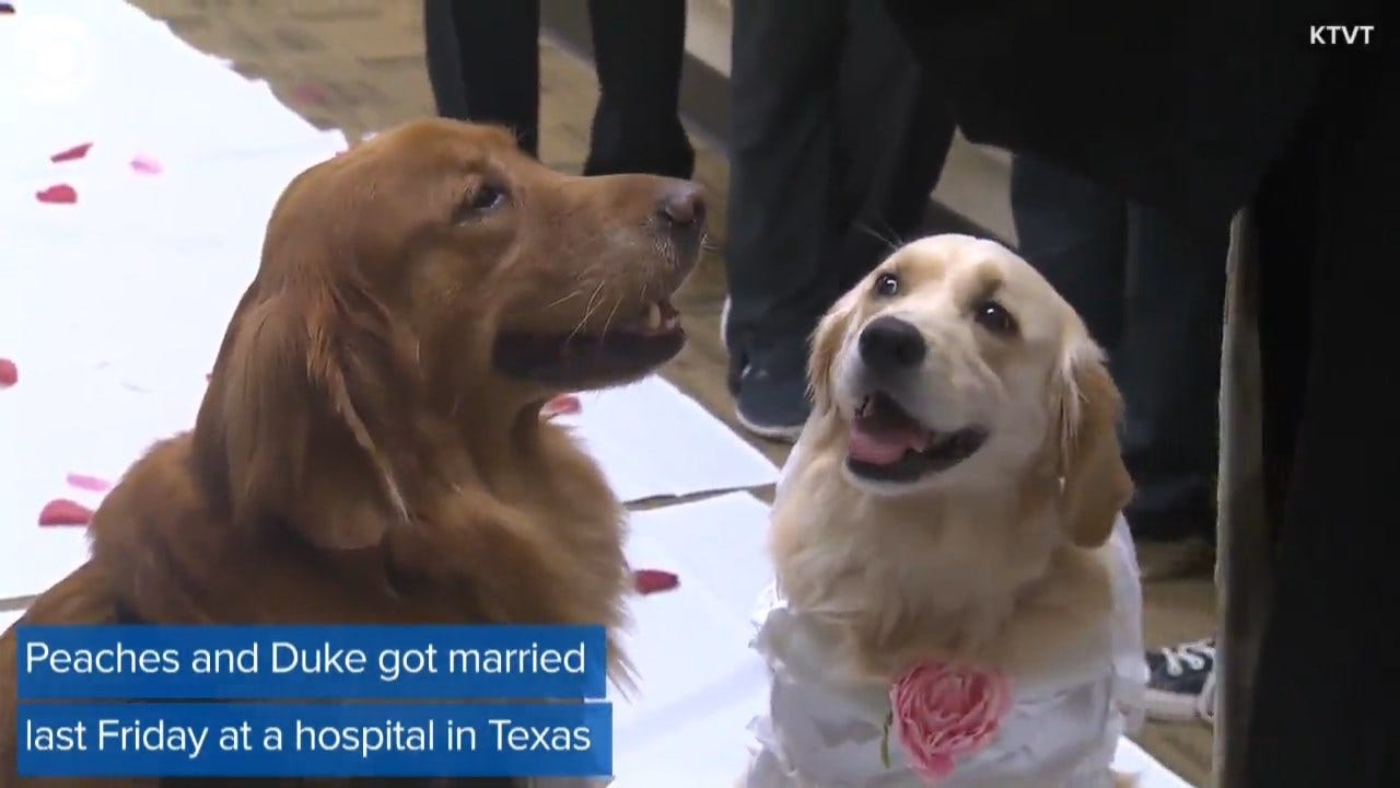 ADORABLE: Two Therapy Dogs Get Dressed Up For Their Wedding