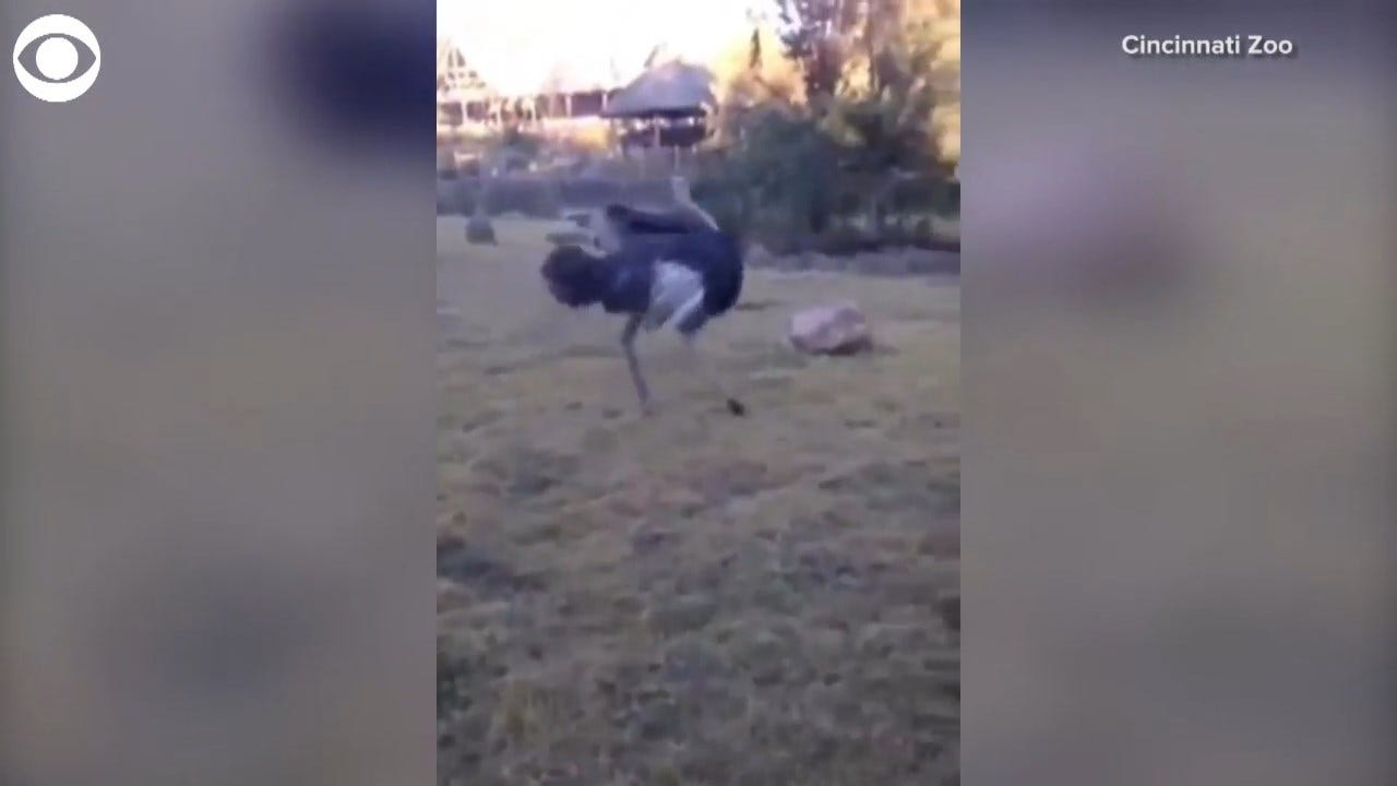 TOO FUNNY! Ostrich Excited To Start The Day