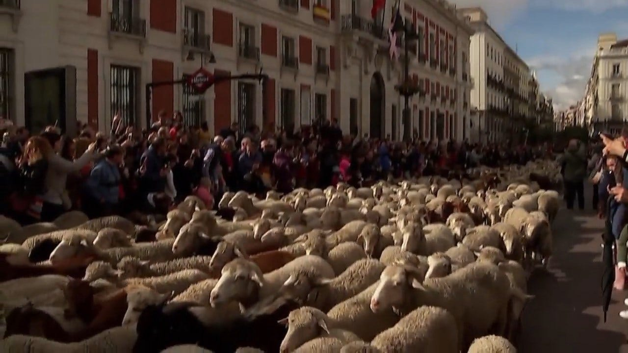 WATCH: Sheep Replace Traffic On Madrid Streets