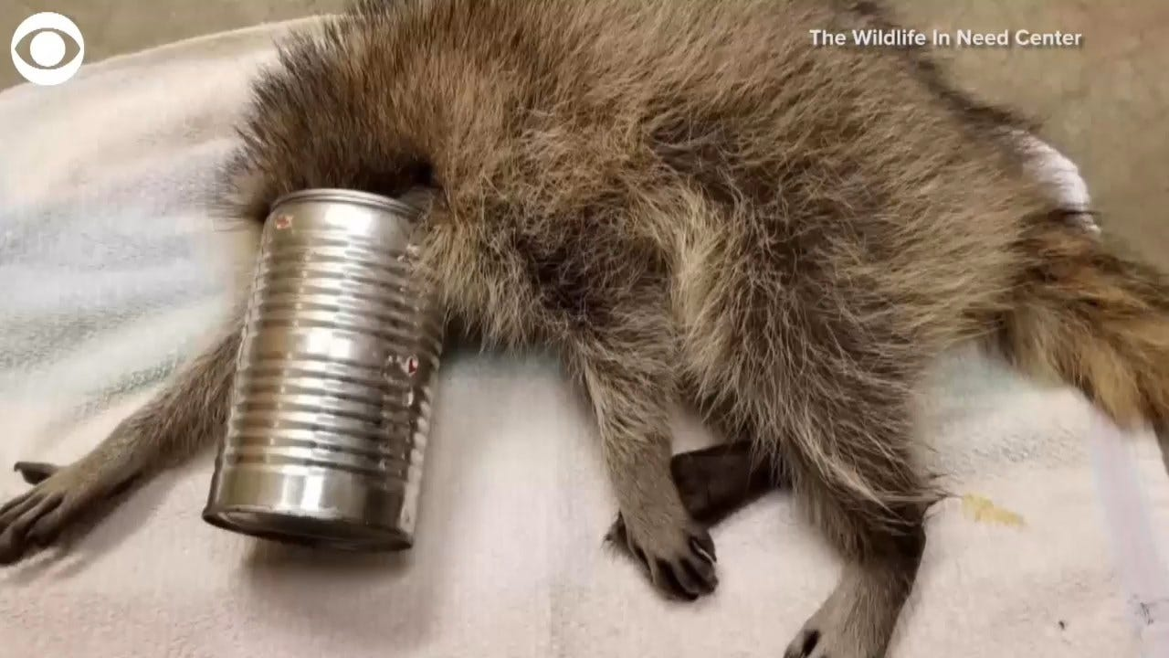 WATCH: Raccoon Gets Rescued From Tin Can