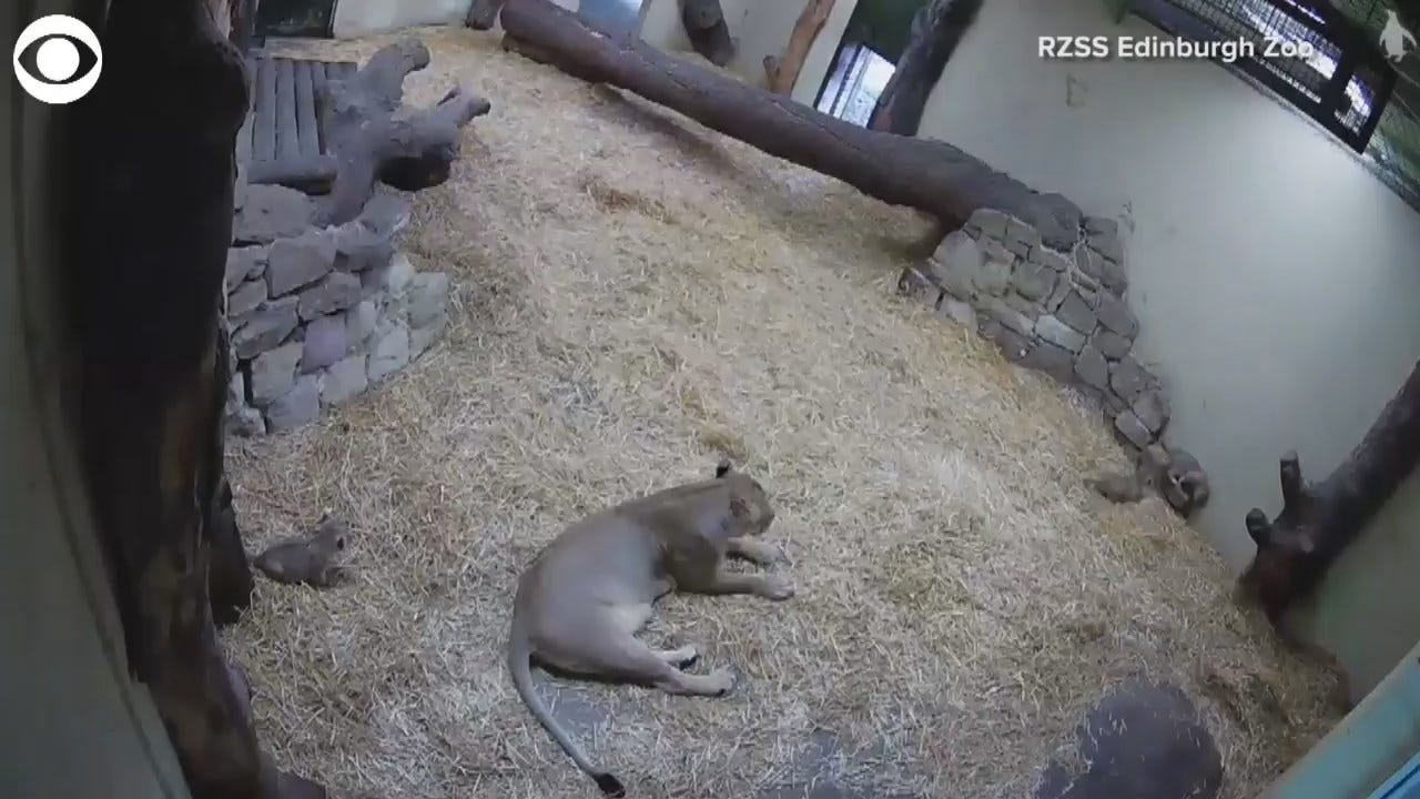 Lion Cub Sneaks Up On Mom