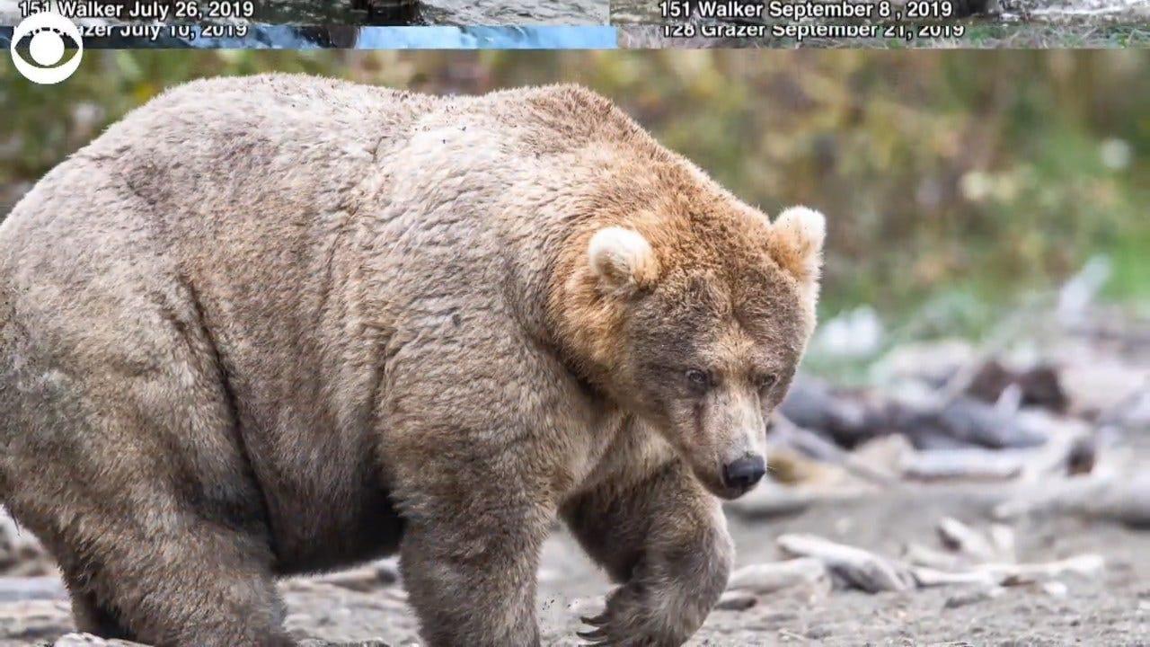 WATCH: Fat Bear Contest
