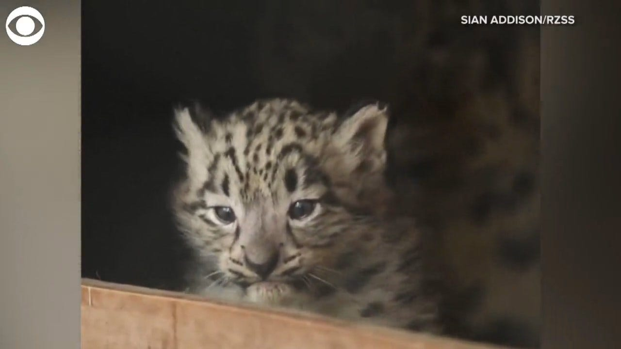 TOO CUTE! Baby Snow Leopards Make Debut