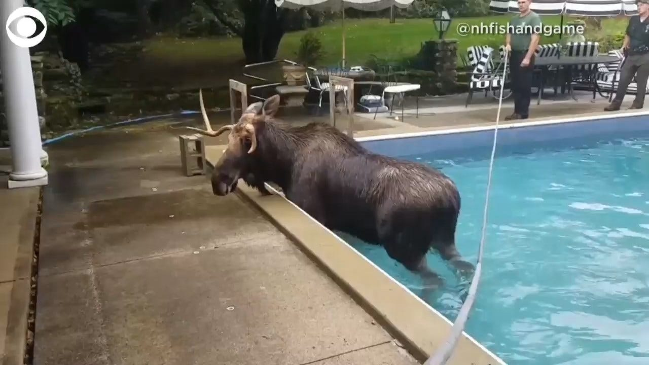WATCH: Moose Gets Stuck In A Pool