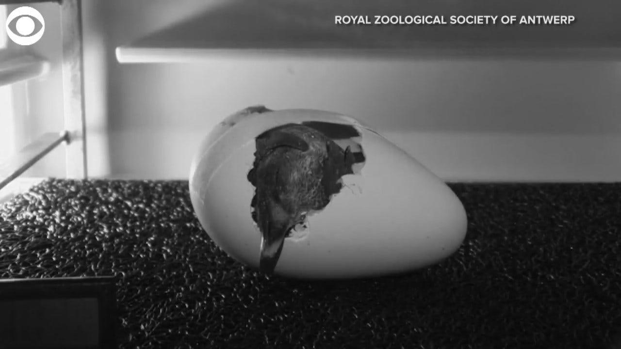 WATCH: An Emperor Penguin Hatches From An Egg