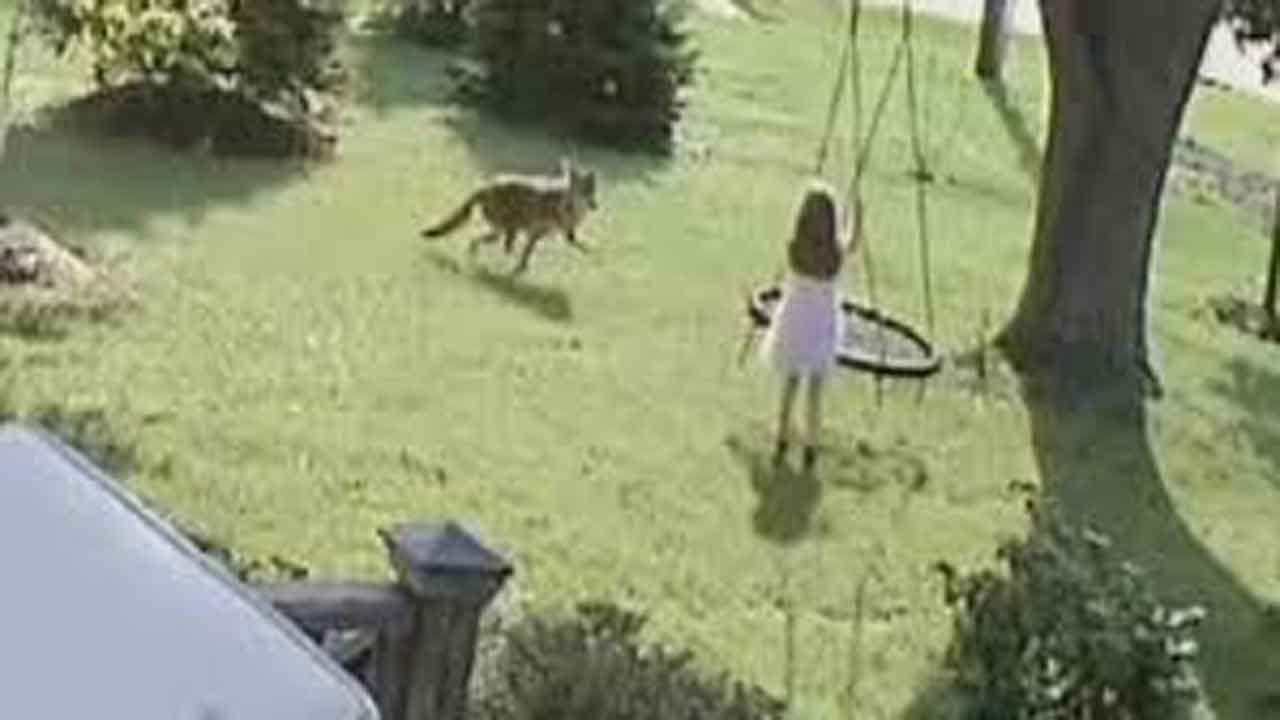 CAUGHT ON CAMERA: 5-Year-Old Girl Escapes Coyote Attack In Illinois