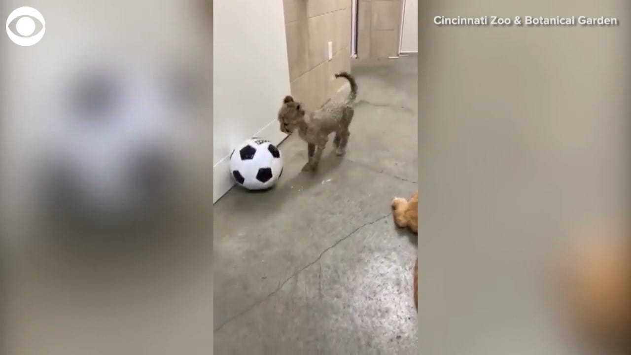WATCH: Baby Cheetah Plays Soccer