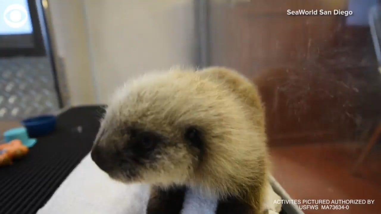 SeaWorld Adopts Orphan Baby Sea Otter