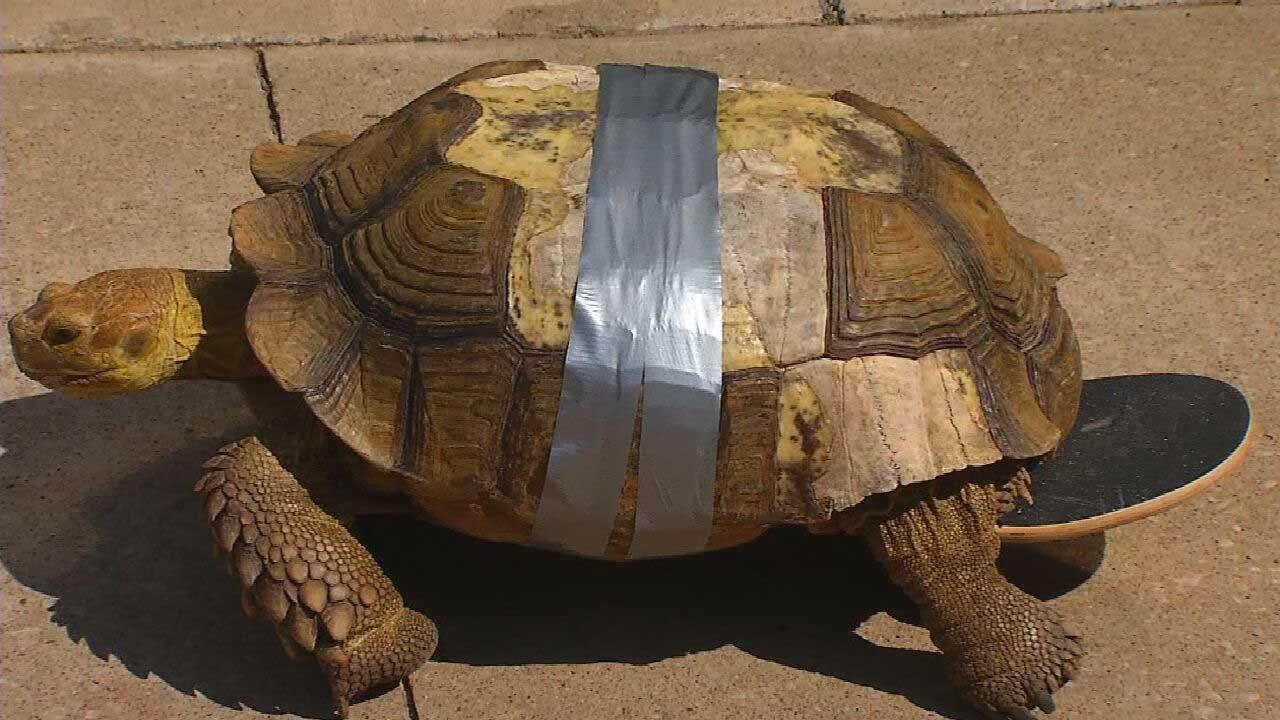 Red Dirt Diaries: OSU Veterinarians Get Creative To Help Injured Tortoise