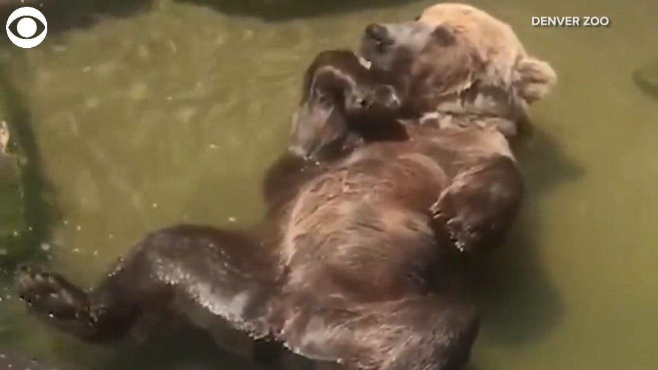 Bear Cools Off In A Stream In The Denver Zoo