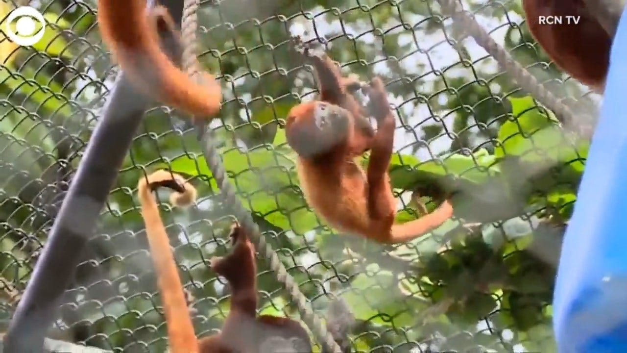 Baby Howler Monkey Makes Its Debut
