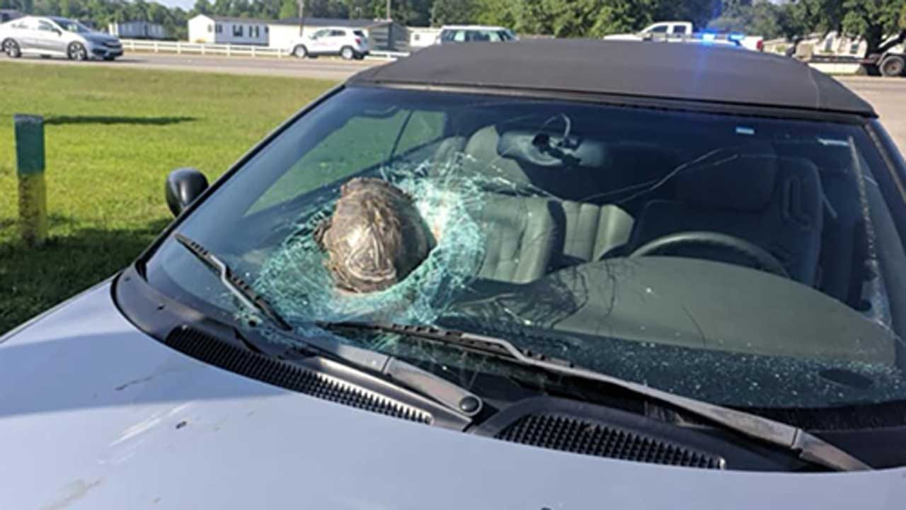 Turtle Smashes Through Car's Windshield On Highway