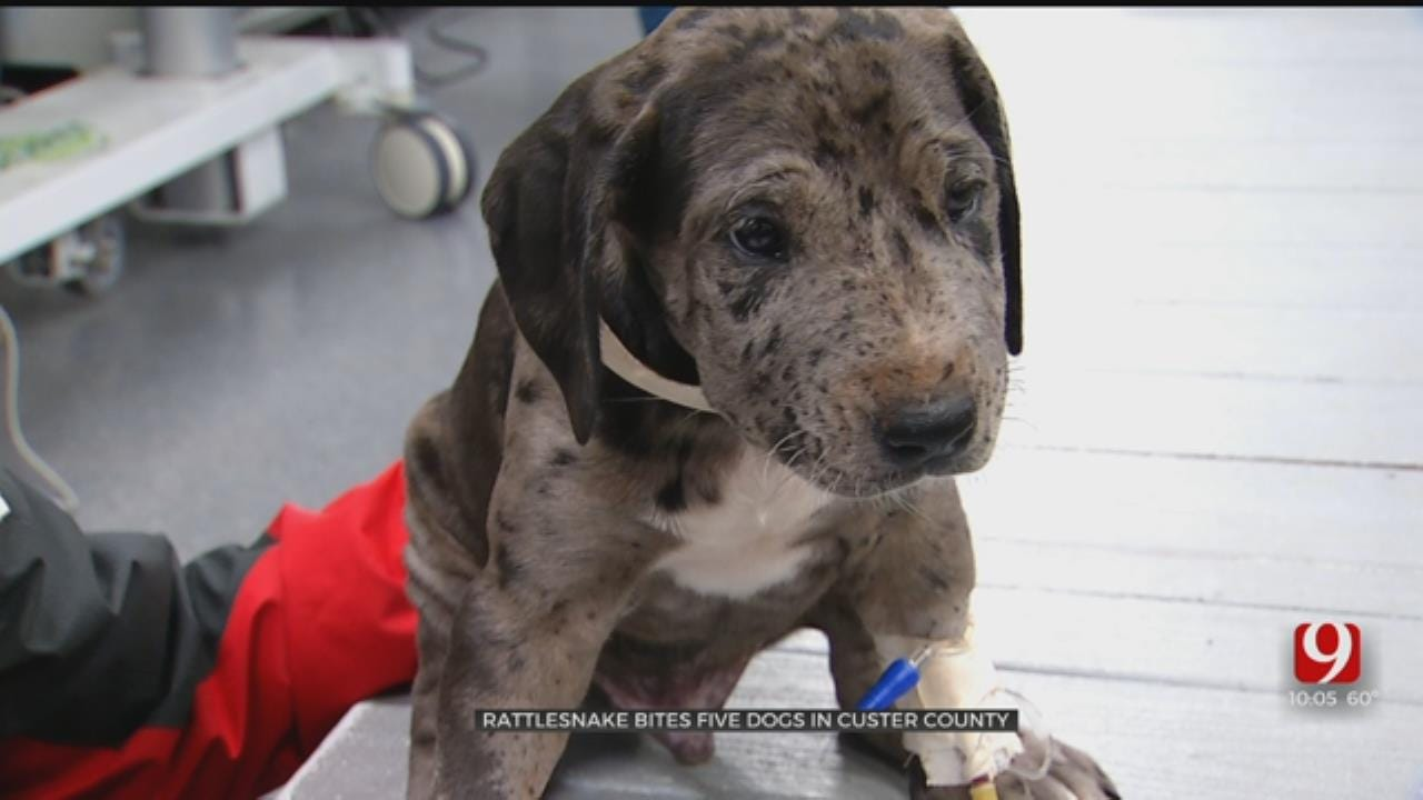 Puppies Recovering After Bitten By Rattlesnake In Custer County
