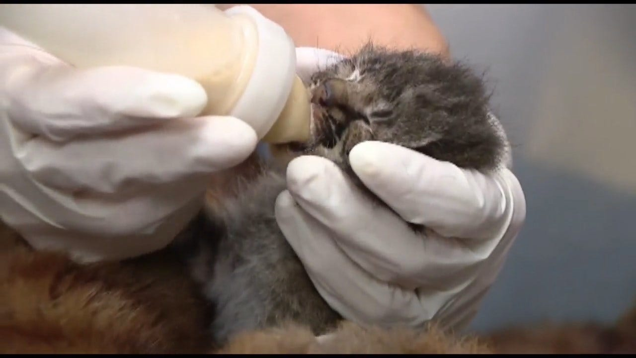 Baby Bobcat Mistaken As Abandoned Cheetah Cub Rescued In Florida