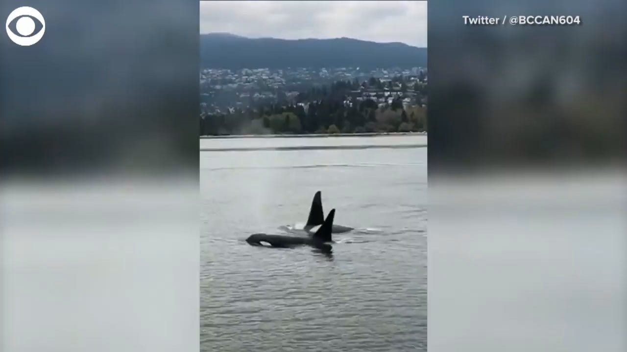 MUST SEE: Whale Pod Sighting In Vancouver