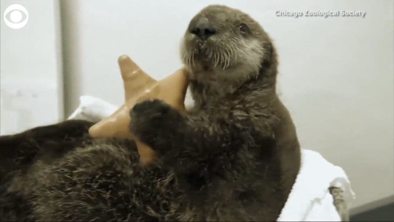 WATCH: Humans Take Care Of An Otter Pup
