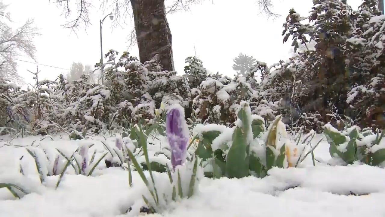 Snow Blankets Flowers In April In Colorado