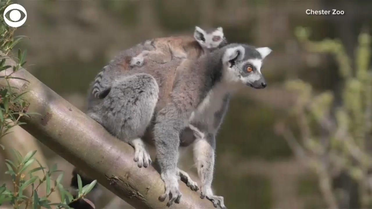 Baby Lemur Gets A Piggyback Ride
