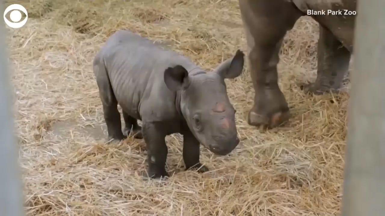 Endangered Baby Rhino Born At Iowa Zoo
