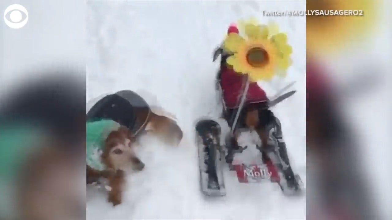 Must See: Paralyzed Dog Is A Skiing Wiz