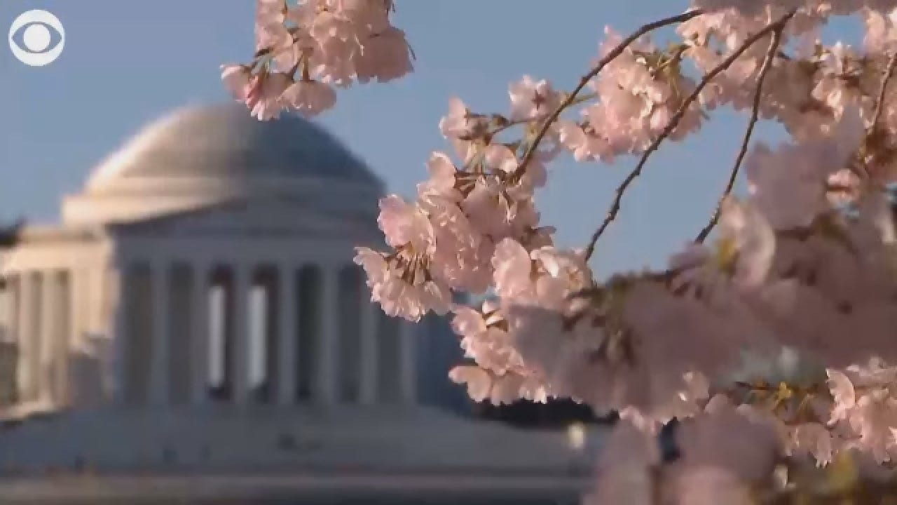 WATCH: The Japanese Cherry Blossoms Take Full Bloom In DC