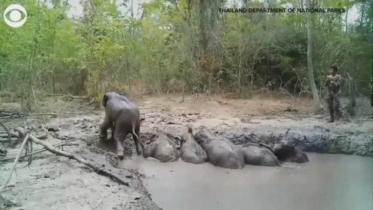 Rangers Free 6 Trapped Baby Elephants In Thailand
