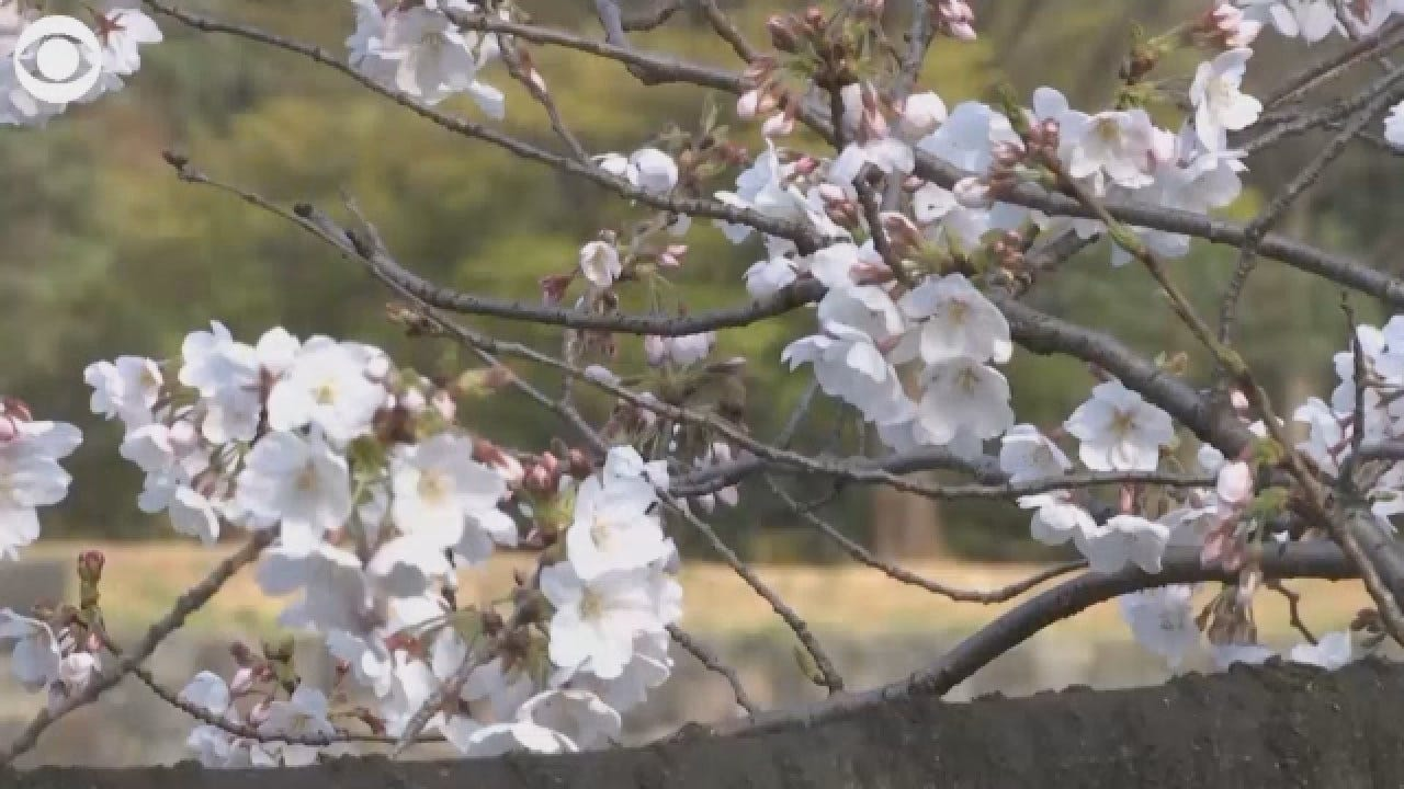 WATCH: Japanese Cherry Blossoms Reach Full Bloom In Tokyo