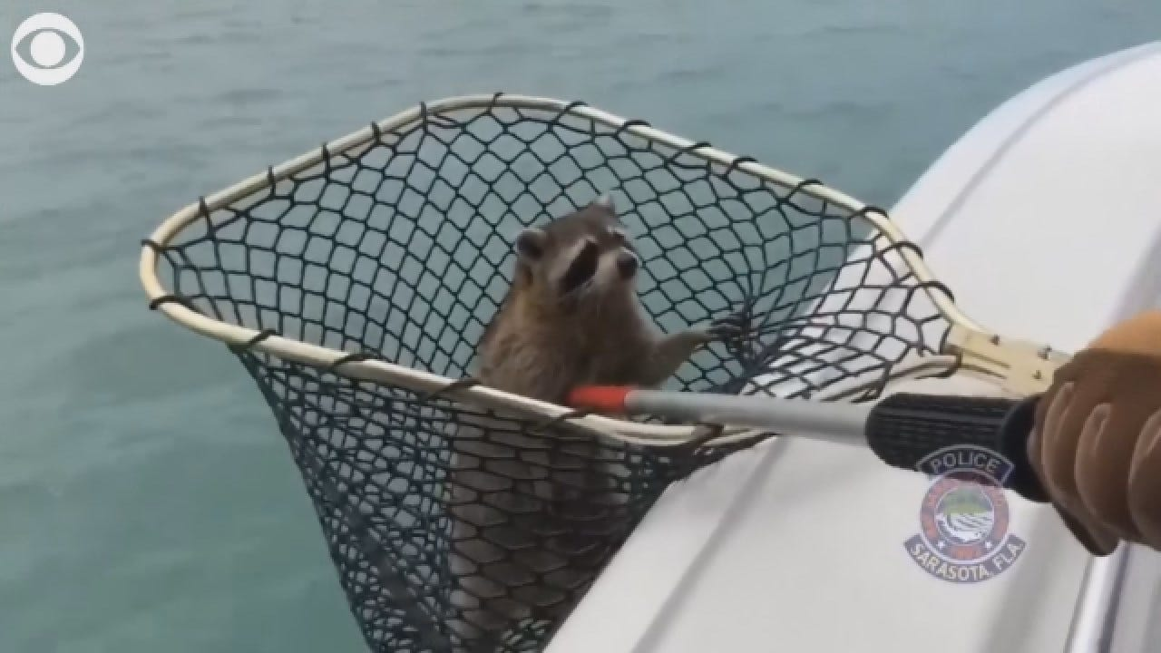 Must See Racoon Rescue