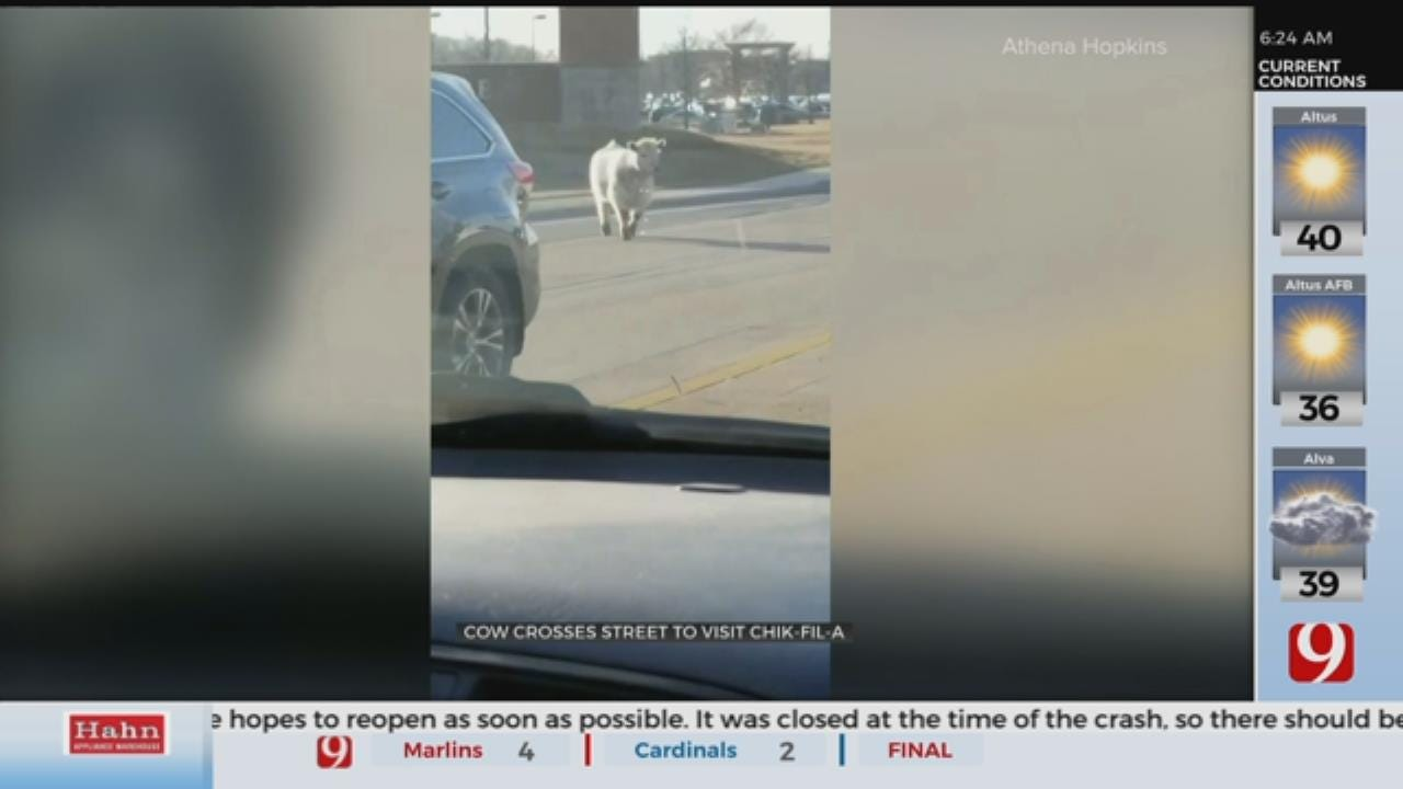 WATCH: Cow Crosses Street To Visit Chick-Fil-A
