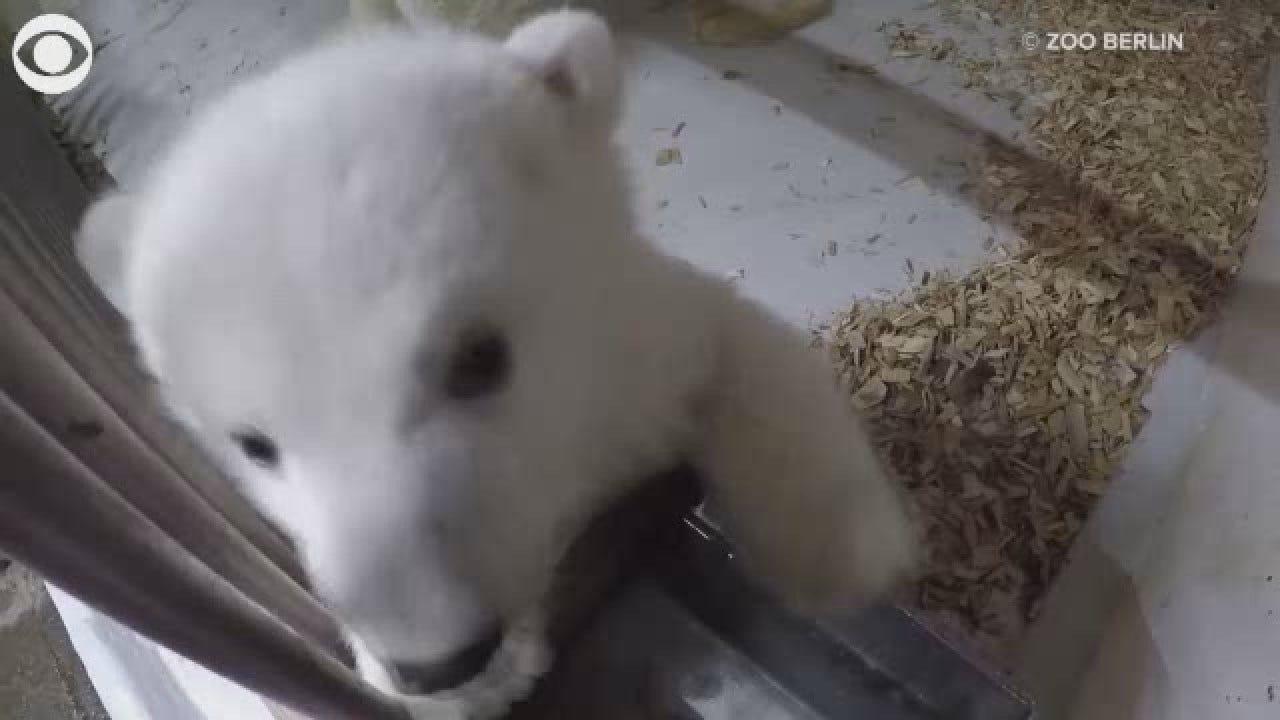 Polar Bear Cubs Play Around