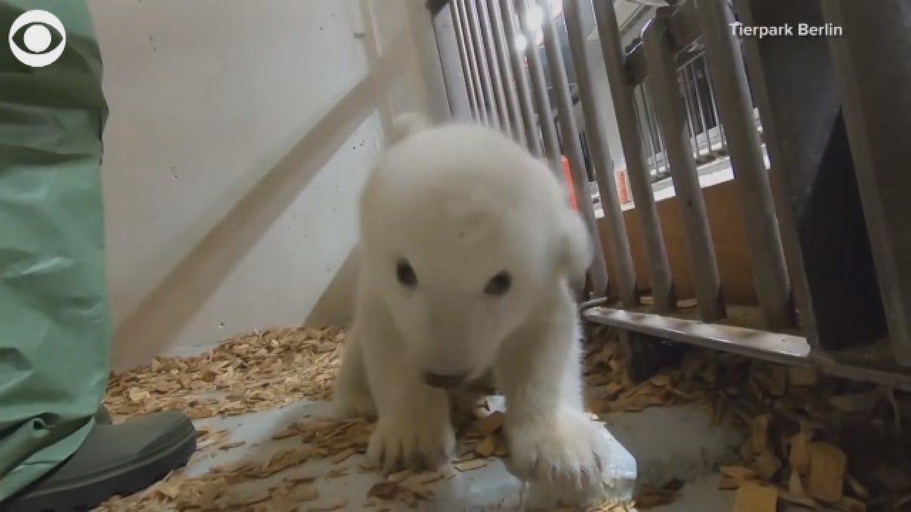 Berlin Zoo Introduces Cute Polar Bear Cub